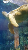 Turtle at the Shedd Aquarium in Chicago