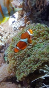 Clown fish at Shedd Aquarium